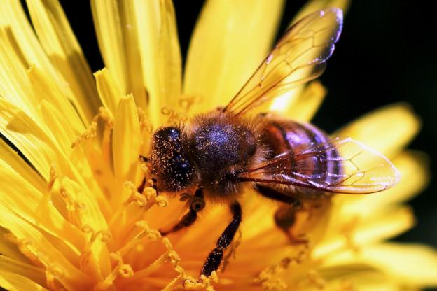 Včelí štípnutí a homeopatie